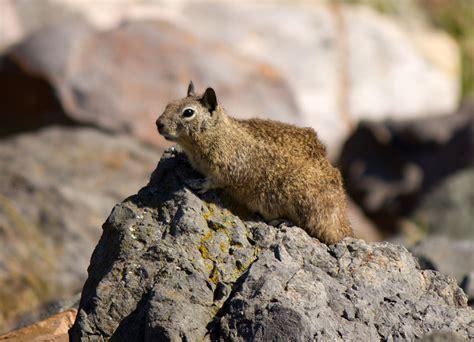 berkeley delays plan exterminate ground squirrels