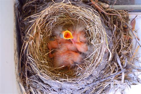 robin birds hatch in my garden shawna coronado