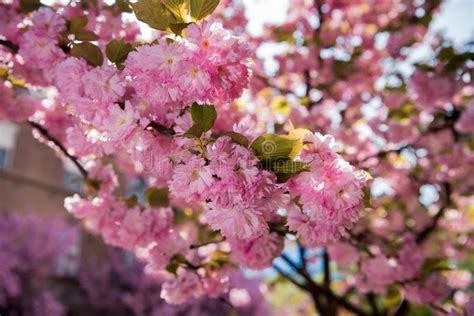 Pink Japanese Cherry tree Blossom Sakura Stock Image