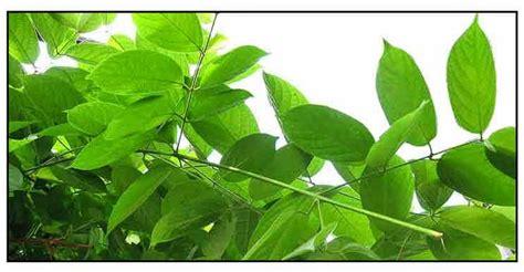 Philippine Herbal Plants And Their Uses Niyogniyogan