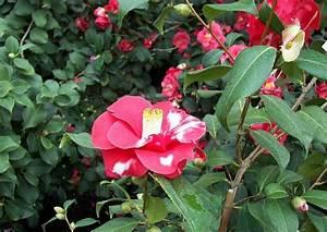 Camellia Japonica Winterhart : camellia japonica adolphe audusson kamelie winterhart kamelien zum berwintern winterharte ~ Eleganceandgraceweddings.com Haus und Dekorationen