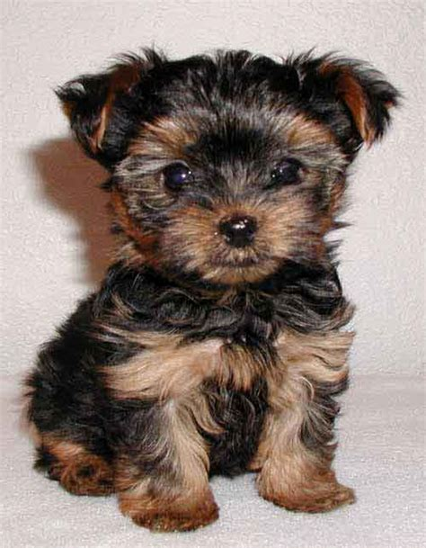 Do Yorkie Poos Shed by Yorkshire Terrier