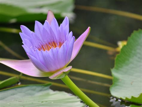 Purple Lotus 2560x1600 : Wallpapers13.com