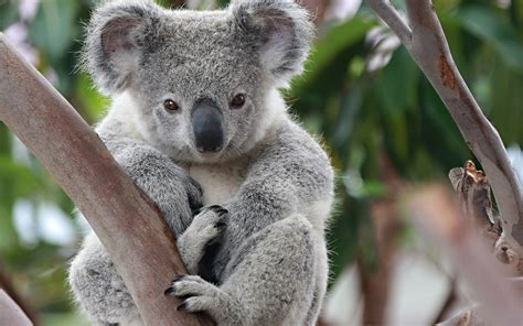 koala facts history useful information and amazing pictures