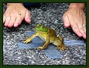 Biggest-Littlest-Longest Jumping Frog Contest photo ...