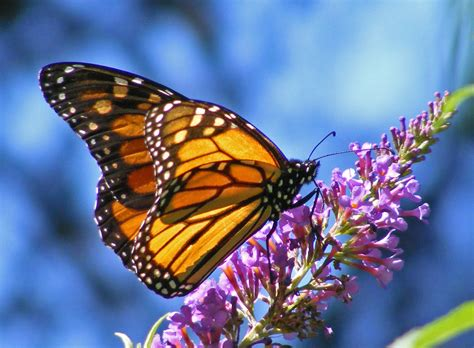 Butterfly Pictures, Images