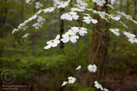 dogwood tree blooms alvarez photography print and stock dogwood tree blooming on laurel drive