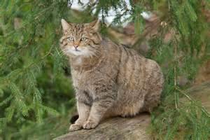 large cats big cats uk big cats at large big cat sightings