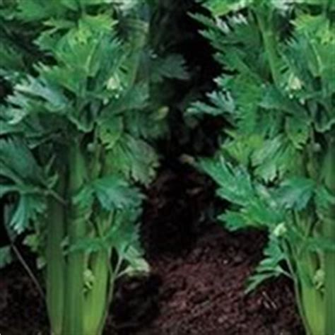 comment cuisiner le celeri branche céleri à côtes