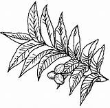 Pecan Tree Texas Coloring Symbols Pages Clipart Sandbox State Drawing Pie Colouring Plant Nut Eazi Tx Tpwd Grows Someone Say sketch template