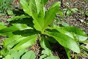 Opium Wild Lettuce Identification