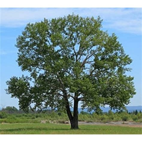 black poplar bowhayes trees store
