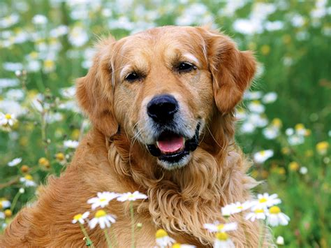 Golden Retriever Dogs And Puppies Golden Retriever Wallpaper