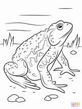 Toad Coloring Pages American Asiatic Printable Supercoloring Spadefoot Reptiles Amphibian Drawing Cane Drawings Super Games Print Animals Paper 26kb 1199px sketch template