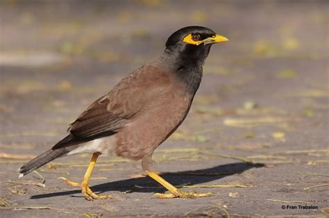 myna hd wallpapers background images wallpaper abyss