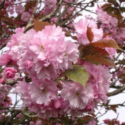cerisier du japon en pot cerisier du japon kanzan plantes et jardins