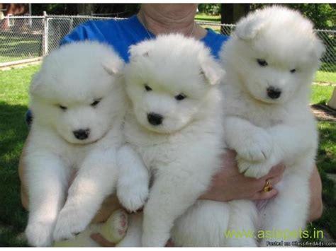 samoyed puppy  sale  nashik   price