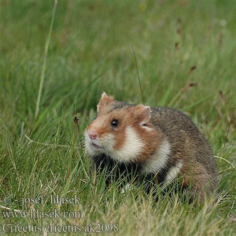 Hamster Común Europeo Avrupa hamsteri Cırlak Sıçan Хом'як ...
