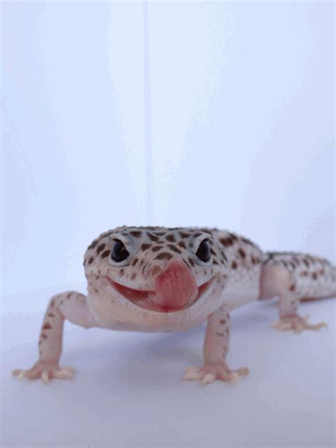 leopard gecko cute leopard gecko tumblr