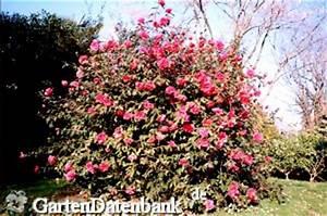 Immergrüne Winterharte Kübelpflanzen : winterharte kamelie frostharte kamelien f r freiland ~ Markanthonyermac.com Haus und Dekorationen