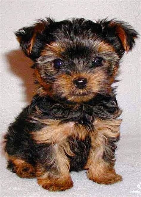 small dogs that don t shed for sale top 5 breeds that don t shed the planet of pets