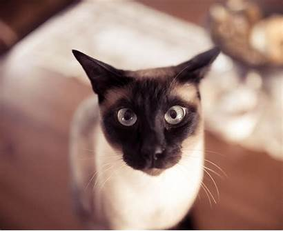 Siamese Cat Funny Cats Wallpapers Desktop Animals