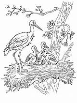 Coloring Stork Storks Birds Printable Aist Recommended sketch template