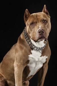 Best Dog Food for Pitbulls to Satisfy Their Nutritional Needs  Pitbull