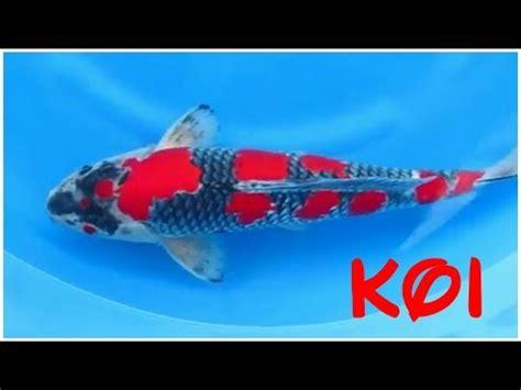 koi fish wholesale price mandi rate  japanese koi fish