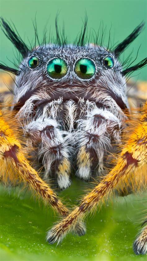 wallpaper bagheera kiplingi spider macro animals