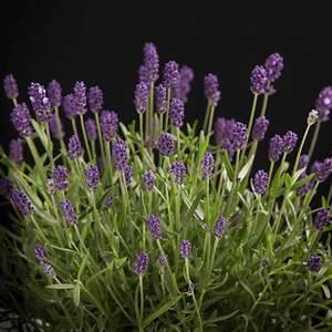 Lavendel Pflanzen Balkon : lavendel pflanzen wann wann lavendel schneiden lavendel ~ Lizthompson.info Haus und Dekorationen