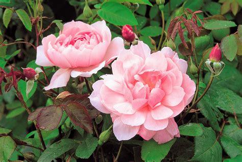 planting david roses planting david austin roses at my farm the martha stewart blog