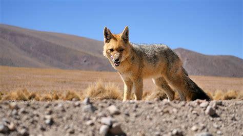 photo desert fox bolivia animal max pixel