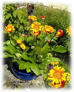 Winterharte Pflanzen Für Balkonkästen : mein kleiner schoener garten winterharte gerbera garvinea gold orange ~ Orissabook.com Haus und Dekorationen