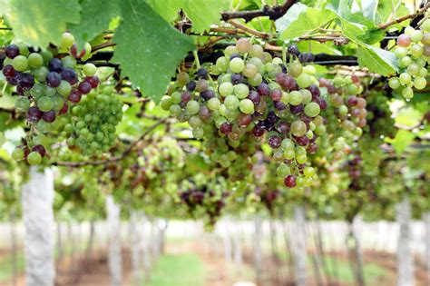 grape plant pictures 8 amazing benefits of grapes 5 refreshing recipes