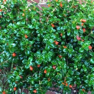 orange flowers shiny green leaves goldfish houseplants http houseplant411 com askjudy