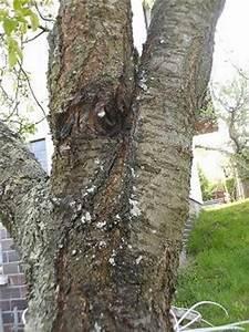 Schädlinge Am Kirschbaum : was ist das f r eine krankheit kann man sie ~ Lizthompson.info Haus und Dekorationen