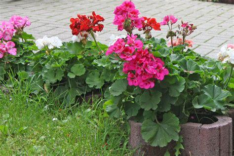 care of pelargoniums pelargonium zonale