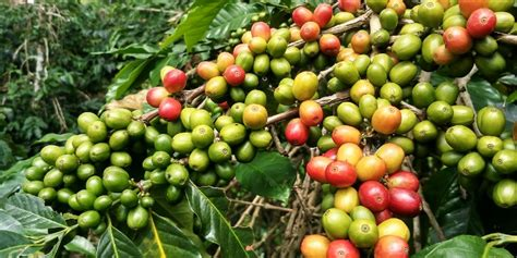 Varietals, History & Best Picks Luwak Coffee Bali Swing Most Expensive At Starbucks Nusa Dua Grinds Pouches Facebook From Elephant Civet Farm In The World 2018