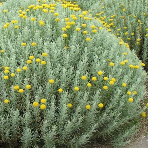 santoline plantes et jardins