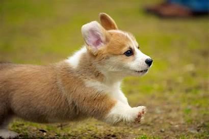 Corgi Puppies Puppy Running Types Facts