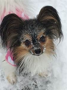 25 best ideas about papillon puppies on pinterest for Akc dog food