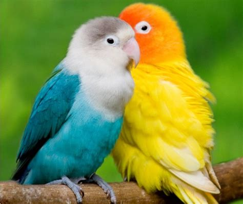 14 fun facts about love birds tail and fur