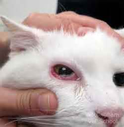 cat eye problems cat eye problems and treatment