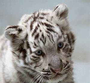 51 best images about white tiger cubs on Pinterest | Kitty ...