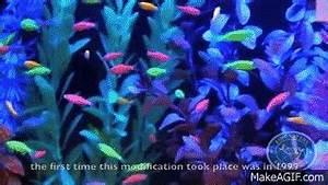Glofish genetically modified fish on Make a GIF