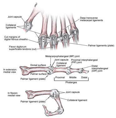 Metacarpophalangeal Interphalangeal Ligament Anatomy