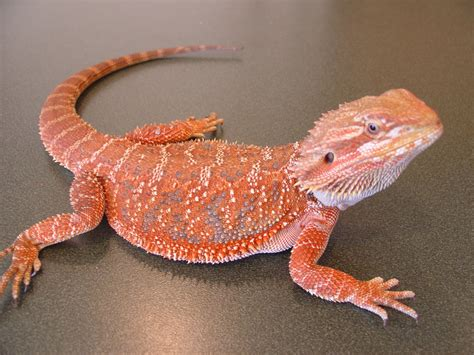 what kind of heat l for bearded dragon the joys of reptile keeping and awesome reptiles bearded