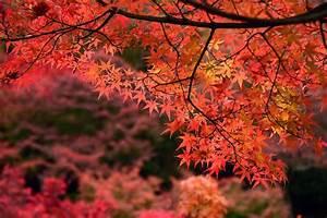 Japanischer Ahorn Pflanzen Schneiden Und Berwintern