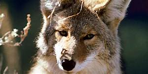 R Link 2 Coyote : state approves year round coyote hunt in michigan ~ Medecine-chirurgie-esthetiques.com Avis de Voitures